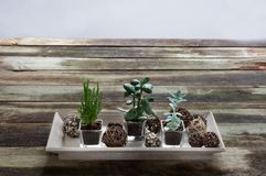 Fashionable succulent plants on rustic table for indoor evergreen hobby Royalty Free Stock Photo