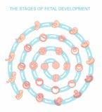 Fasi dell'illustrazione di vettore di sviluppo fetale Isolato su priorità bassa bianca Gravidanza Fotografie Stock