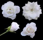 Fasi della Rosa Fotografie Stock