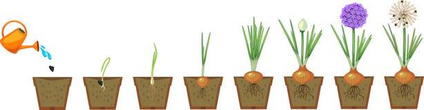 Fasi di crescita della cipolla dalla semina alla fioritura ed alla pianta da frutto illustrazione vettoriale