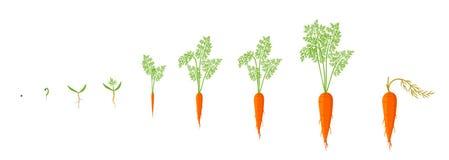Fasi di crescita della pianta della carota Illustrazione di vettore Daucus carota Le carote arancio spillano il ciclo di vita del royalty illustrazione gratis