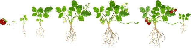 Fasi di crescita della pianta di fragola Fotografia Stock Libera da Diritti