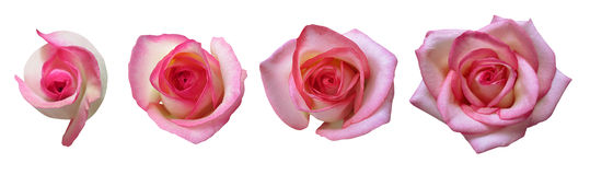 Fasi di crescita di Rosa Immagini Stock