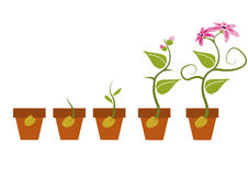 Fasi di crescita di una pianta Immagine Stock