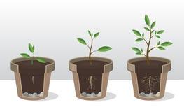 Fasi di crescita di una pianta con le radici ed i tiri Germoglio piantato in vaso da fiori royalty illustrazione gratis