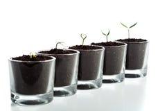 Fasi di evoluzione della pianta giovane Immagine Stock Libera da Diritti