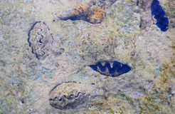 Fasi di piccole vongole giganti blu subacquee - tridacna maxima - mollusco bivalve - Marine Life - fondo astratto di struttura immagine stock