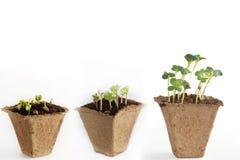 Fasi di sviluppo dei germogli del ravanello, di tre vasi della torba con suolo e delle piante fotografia stock libera da diritti