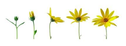 Fasi di sviluppo del fiore Fotografia Stock