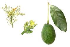 Fasi di sviluppo dell'avocado Fotografia Stock Libera da Diritti