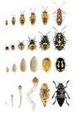 Fasi di vita degli insetti e degli scarabei Fotografia Stock