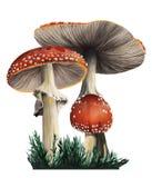 Fasi tossiche rosse di identificazione due dei funghi di sviluppo Fotografie Stock