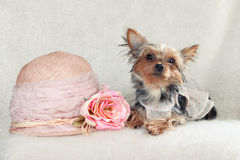 Fasionable adorable Yorkshire Photographie stock