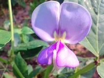Fasola kwiaty Obraz Stock