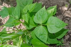 Fasola liść w naturze Fotografia Royalty Free