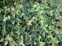 Fasolek Szparagowych rośliny! zdjęcia royalty free