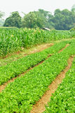 fasoli kukurydzanego pola cukierki Fotografia Stock