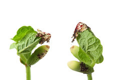 Fasoli nasieniodajny kiełkowanie z makro- szczegółem, Zdjęcie Stock