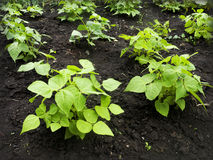 Fasoli (Phaseolus vulgaris) rosnąć Zdjęcia Royalty Free