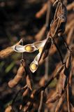 fasoli pola żniwo przygotowywać soje Obraz Royalty Free