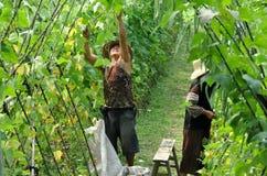 fasoli porcelanowych rolników zielony pengzhou zrywanie Zdjęcie Royalty Free