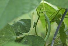 Fasolki szparagowe w ogródzie Zdjęcia Stock