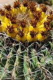 Fass-Kaktus Stockbild