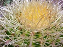 Fass-Kaktus Thorn Pattern lizenzfreie stockfotos
