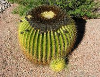 Fass-Kaktus-Welpe Stockbilder