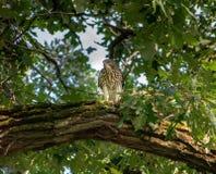 Fassbinder-Falke in einem Baum Stockfoto