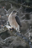 Fassbinder Hawk Holding Shrew Lizenzfreies Stockbild