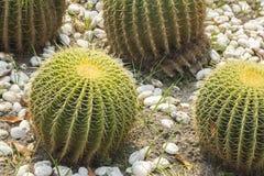 Fasskaktus, der im Kies wächst stockfotografie