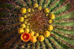 Fasskaktus mit orange Blume im Ring von gelben Knospen Stockfotografie