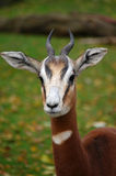 Fast alert antilope gazelle Stock Photos