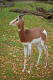 Fast alert antilope gazelle Stock Photo
