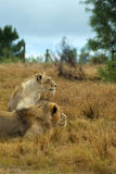 fast beslutsamt se för lions Royaltyfria Foton