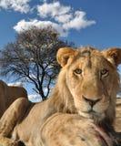 fast beslutsamt stirra för lion Royaltyfri Fotografi