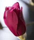 Fast in der vollen Schönheit der Blüte Lizenzfreies Stockfoto