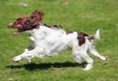 Fast dog Royalty Free Stock Photo
