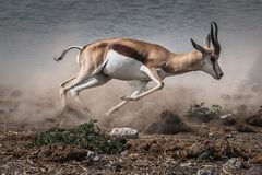 Fast fleeing springbok royalty free stock images