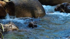 Fast flow in clear water rocky river in mountain. Dragonfly sitting on large stone in rapid water stream in mountain. Fast flow in clear water rocky river in stock video