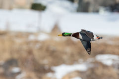 Fast flying. Mallard drake in air Royalty Free Stock Image