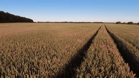 Fast Flying Over Wheat Field. Aerial shot: Fast Flying Over Wheat Field stock footage
