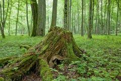 Fast gesunkener Baumstumpf Stockbilder