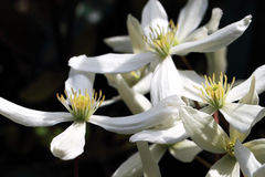 Fast Growing Clematis Armandii Royalty Free Stock Photo