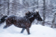 Fast Horse Galloping during a Blizzard in Nature Stock Photography