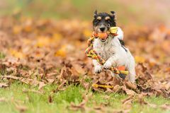 Fast Jack Russell running over autumn leaves with a ball in the mouth royalty free stock photography