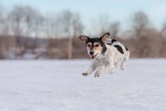 Fast Jack Russell Terrier dog is running across a meadow in snowy winter royalty free stock photography