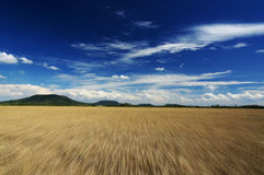 Fast motion over the wheat field in summer time Royalty Free Stock Images