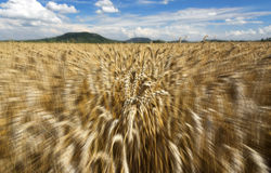 Fast motion in the wheat field in summer time Royalty Free Stock Photography